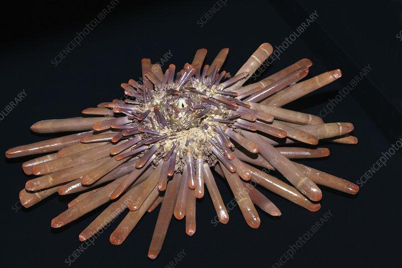 Red pencil sea urchin