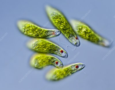 Euglena sp. protists, LM