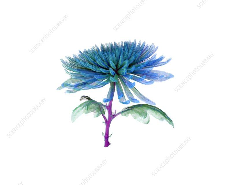 Chrysanthemum, micro-CT scan
