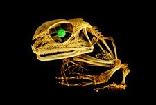 Frog, micro-CT scan