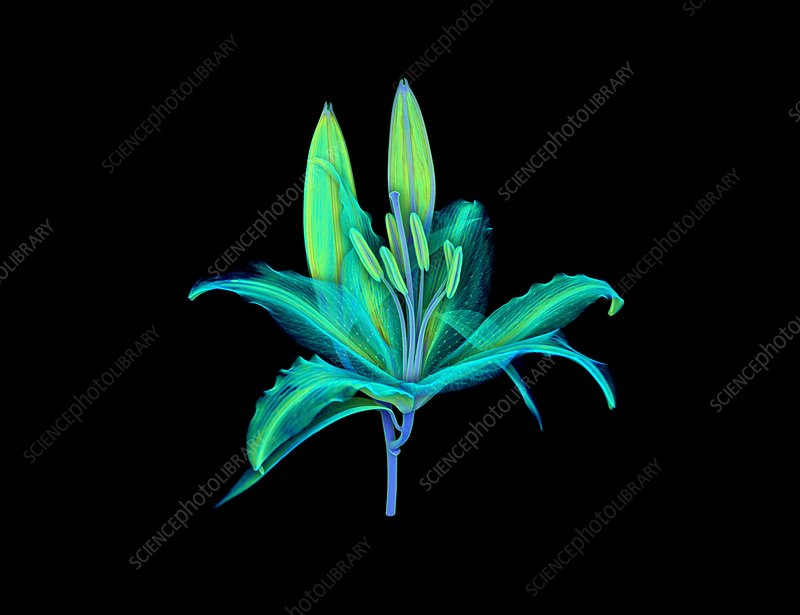 Lily flower, micro-CT scan