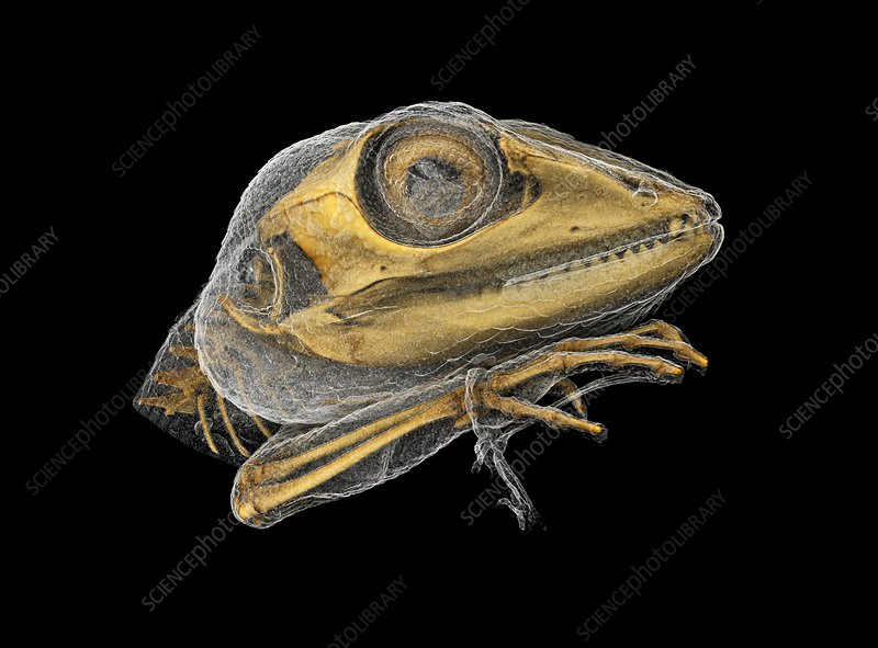 Lizard, micro-CT scan