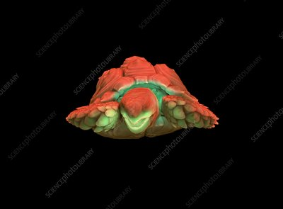 Tortoise, micro-CT scan