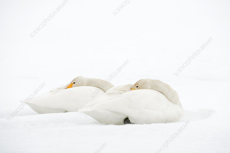 Whooper swans resting on snow