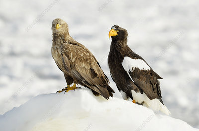 White-tailed and Steller's sea eagles