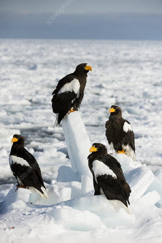 Steller's sea eagles on sea ice