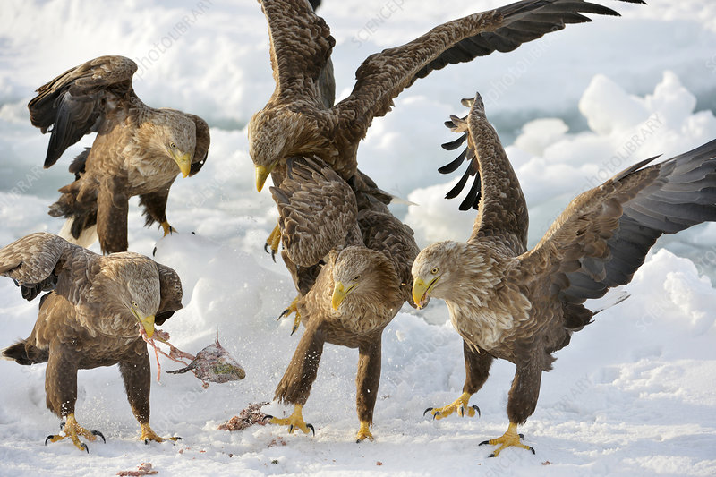 White-tailed eagles with prey