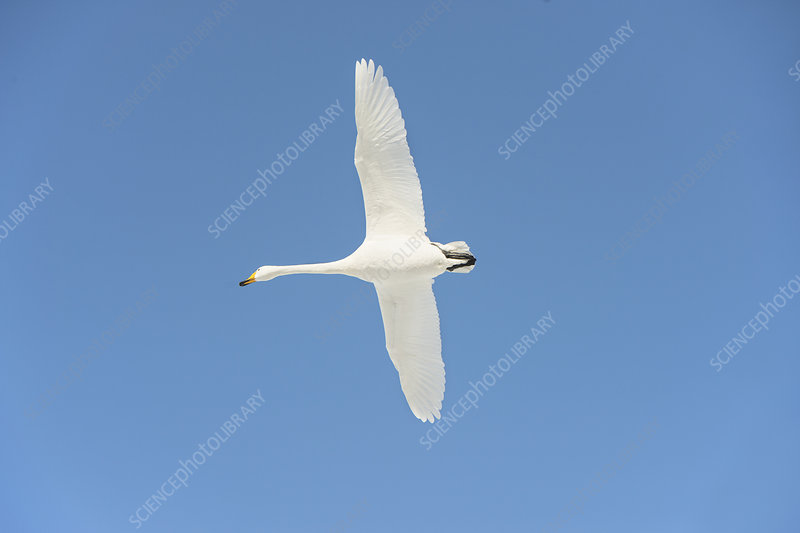 Whooper swan in flight
