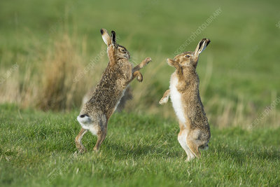 European hares in March