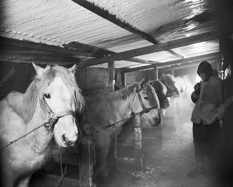 Terra Nova Antarctic ponies, 1911