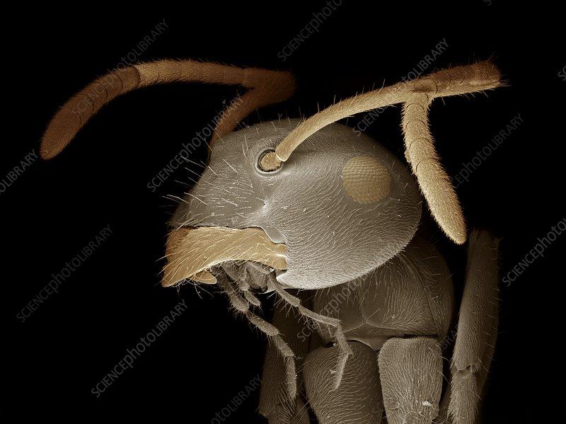 Black garden ant head, SEM