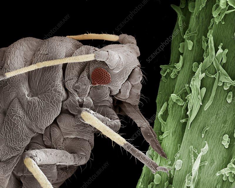 Black aphid feeding on sap, SEM