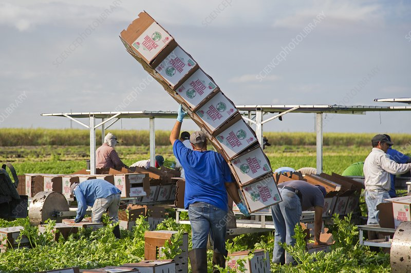 Celery harvest, Florida, USA