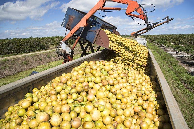 Grapefruit farming, Florida, USA - Stock Image - C021/7365