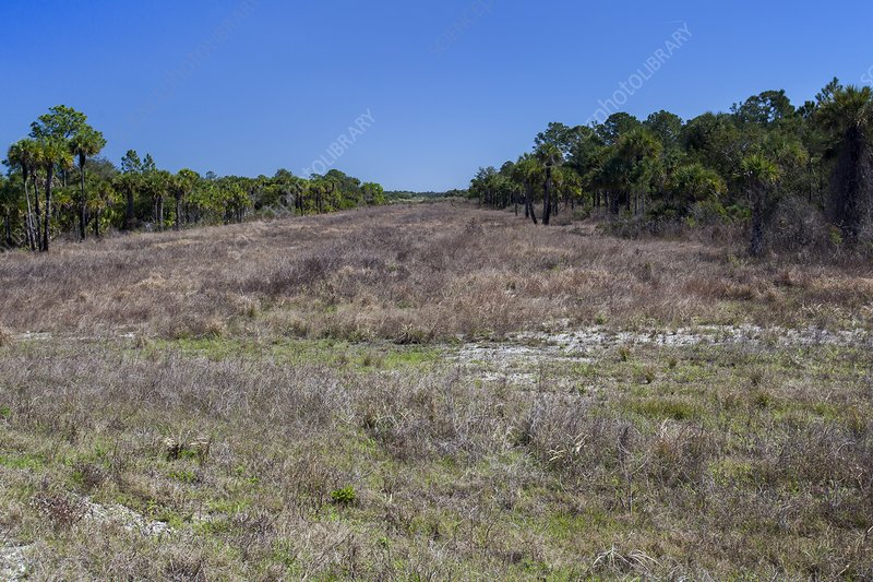 the issue of restoration of south floridas everglades wetlands This portion of the tour describes different ecosystems found in south  freshwater marshes are generally wetlands  is used to describe everglades areas.