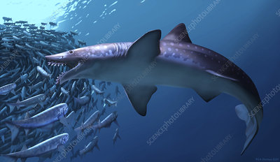 Edestus giganteus shark, artwork