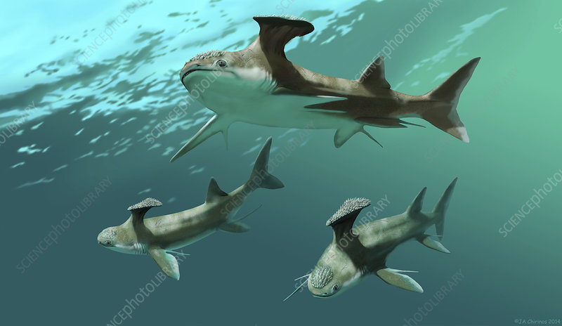 Stethacanthus sharks -...