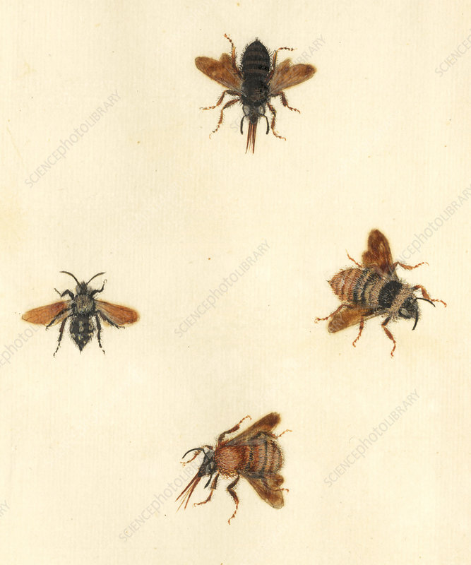 English Insect illustration, James Barbut