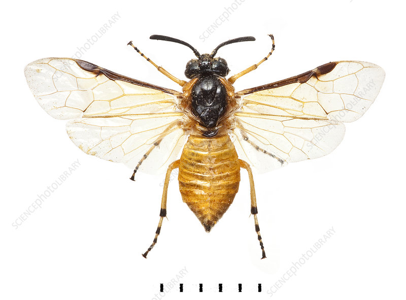 Large Rose Sawfly