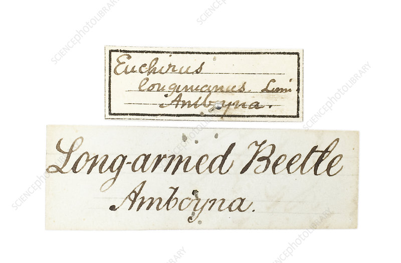 Label for Wallace's Long armed beetle