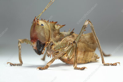 Dragon-headed katydid