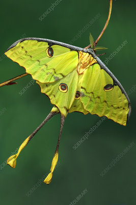 African moon moth, head and antennae