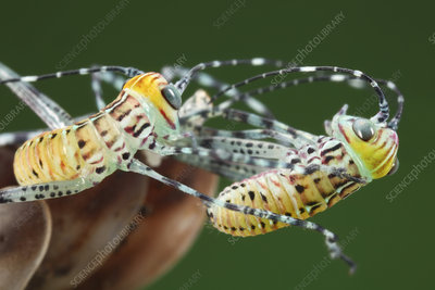 Giant katydid hatchlings