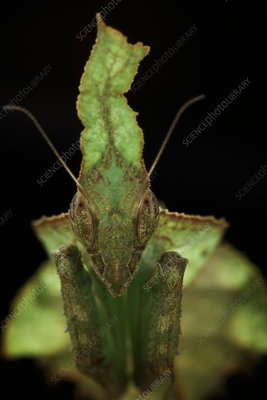 Leaf-mimic praying mantis