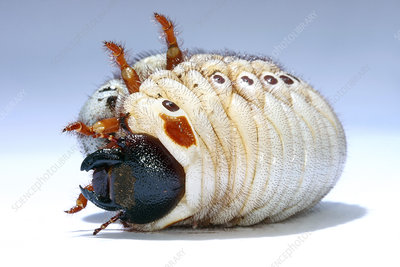 Elephant beetle grub