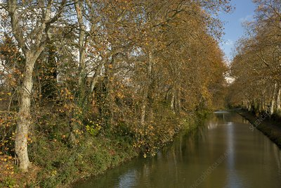Canal du Midi and plane trees, France