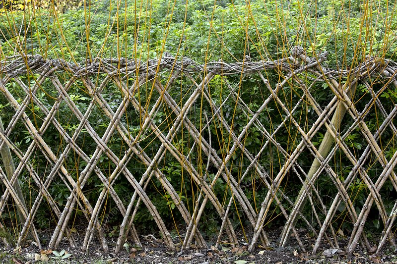 Sprouting willow fence
