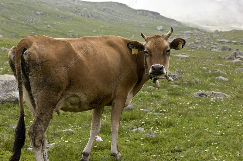 Cattle grazing in the Pontic Alps, Turkey