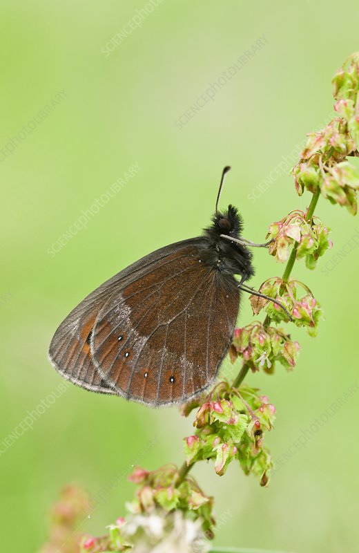 Scotch argus butterfly on a dock plant
