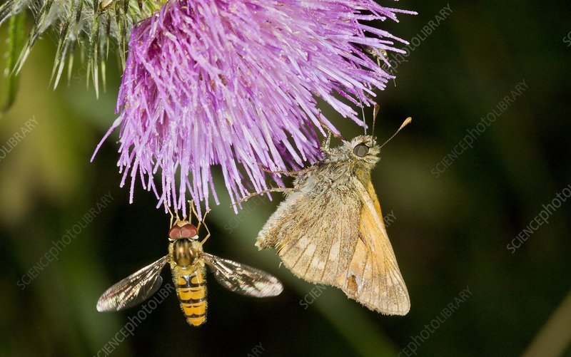 Butterfly and hoverfly on thistle flower
