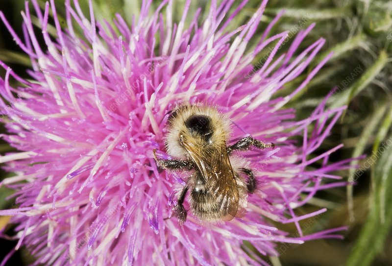 Shrill carder bee on knapweed flower