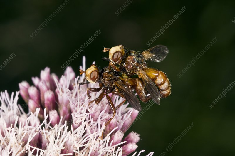 Conopid flies mating on a flower