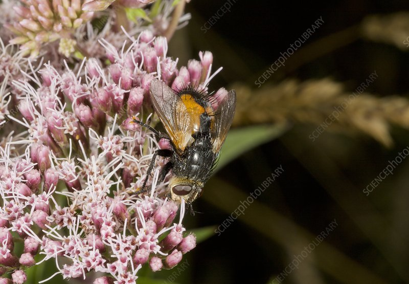 Parasitic fly feeding on flowers
