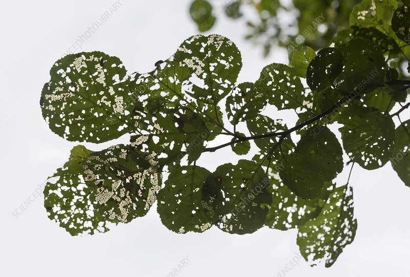 Alder leaves damaged by insects