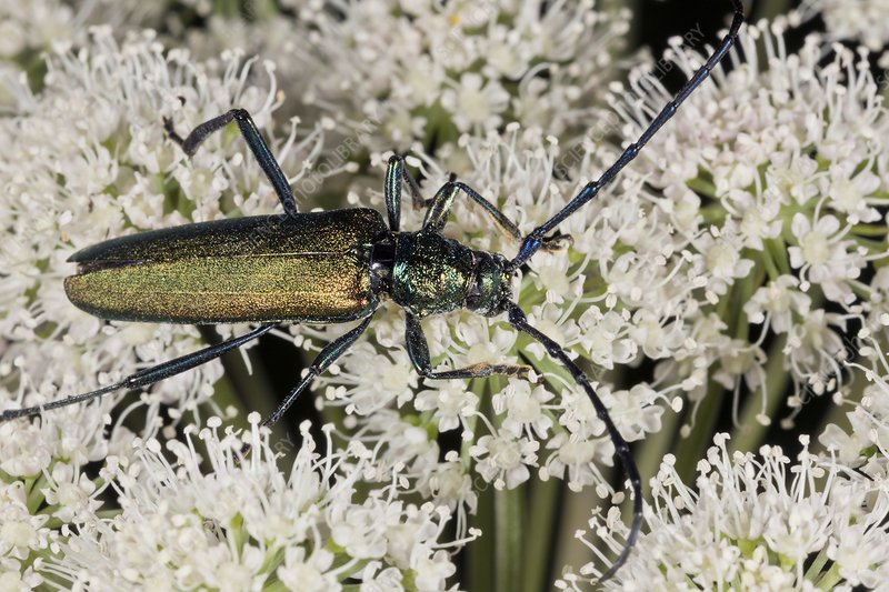 Musk beetle feeding on angelica flowers