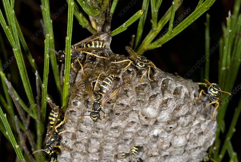 Paper wasp colony
