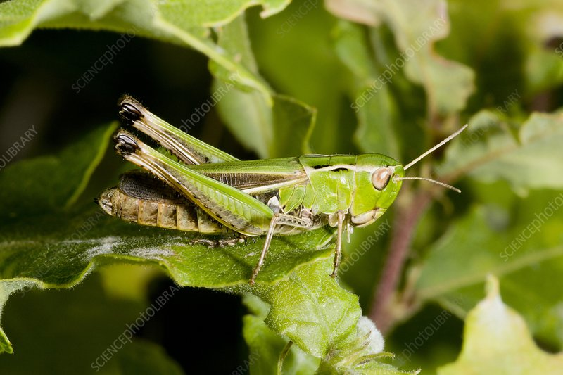 Stripe-winged grasshopper