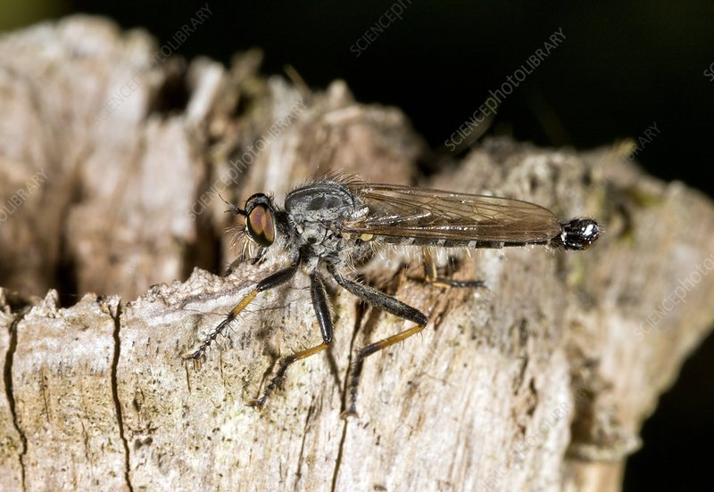 Common awl robber-fly