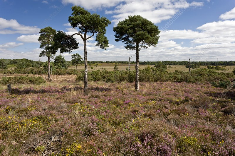 Heathland, UK