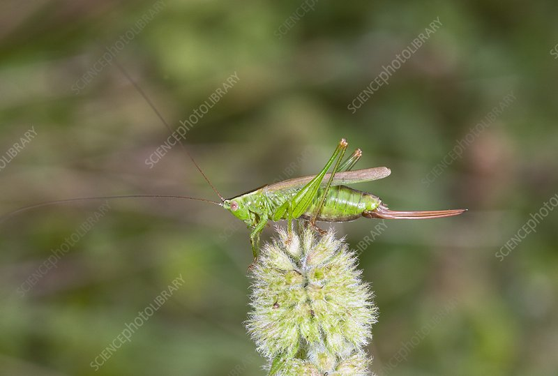 Long-winged conehead bush-cricket