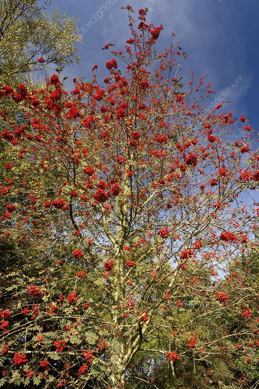Rowan (Sorbus aucuparia) tree in fruit