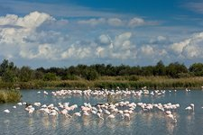 Greater flamingos foraging