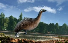 Artwork of Giant Moa in New Zealand