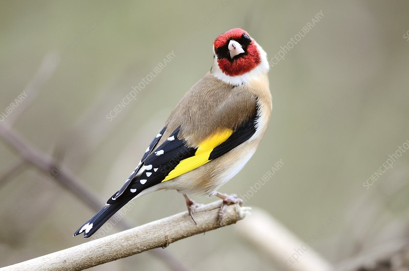 Male European goldfinch on a branch