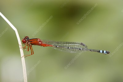 Red and blue damsel