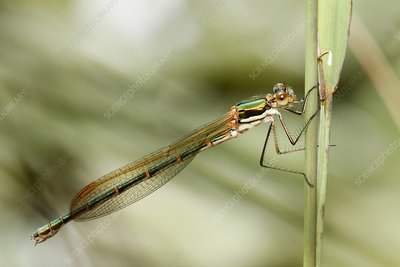 Female metallic ringtail damselfly